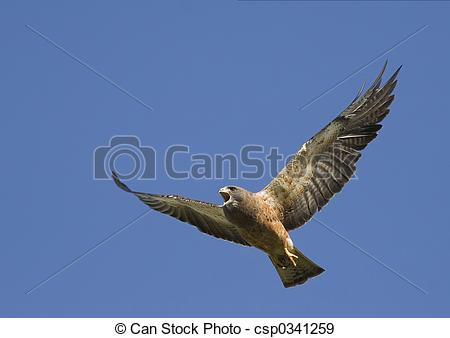 Stock Photographs of Angry Hawk in flight.