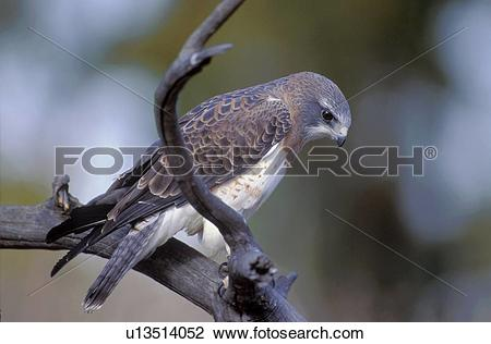 Stock Photo of Swainson's hawk on a branch u13514052.