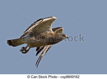 Stock Photo of Swainson Hawk in flight in Saskatchewan Canada.