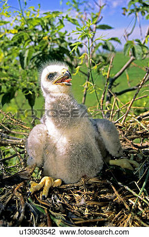 Stock Photo of Nestling Swainson's hawk (Buteo swainsoni), prairie.