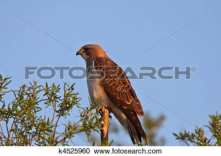 Stock Photography of Swainson's Hawk perched on branch end.
