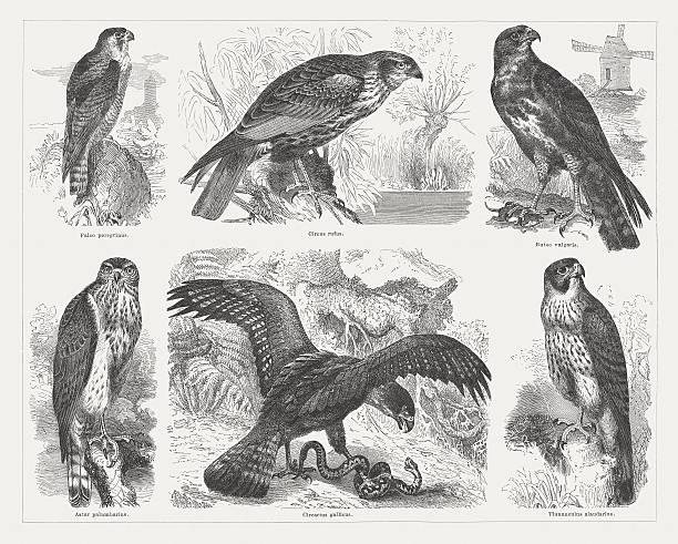 Swainson's Hawk Clip Art, Vector Images & Illustrations.