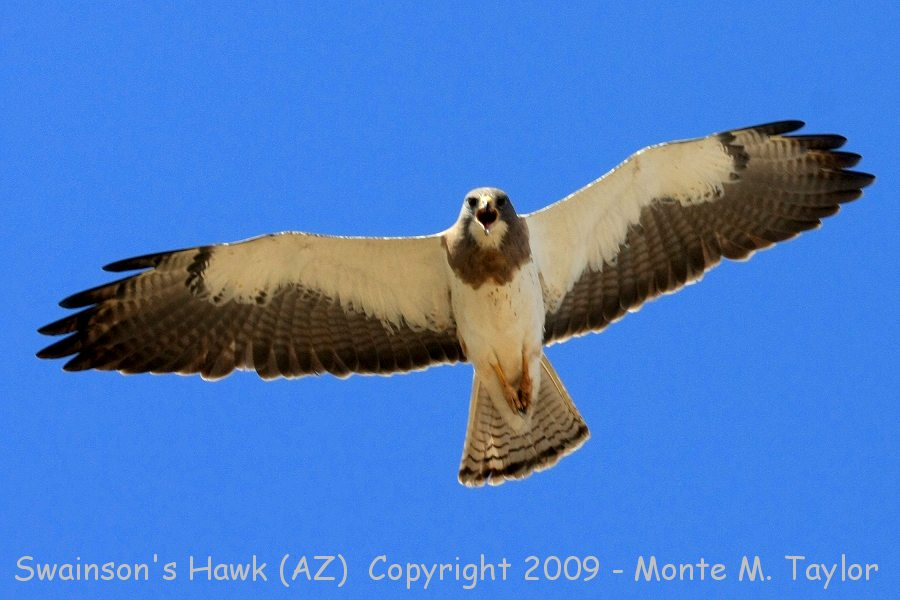 Raptor (Hawks, Eagles, Falcons, Merlin, Caracara, Condors.