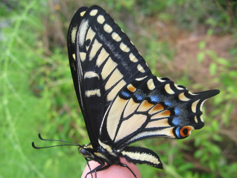 swallowtail butterfly ...