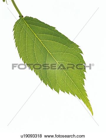 Pictures of Leaf of Cherry Blossom, High Angle View, Close Up.