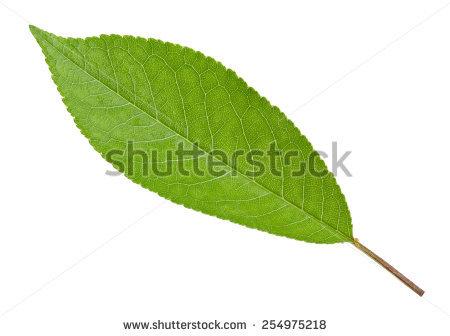 Cherry Leaf Stock Photos, Royalty.