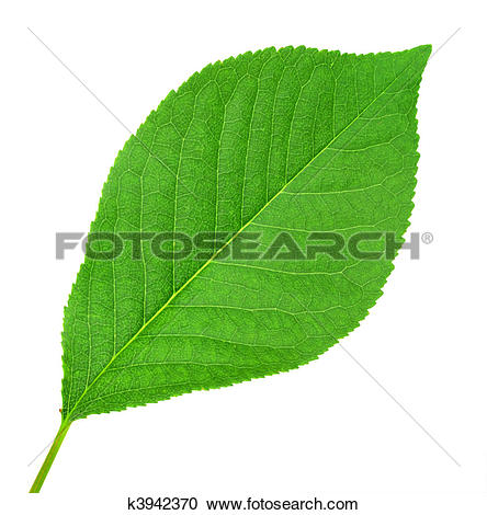 Stock Photography of One green leaf of cherry.
