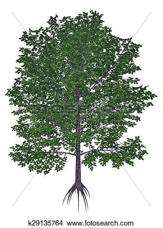 Drawings of Sweet, black, mahogany, spice or cherry birch, betula.