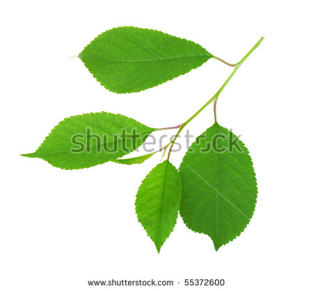 """leaves Of Cherry"""" Stock Photos, Royalty."""