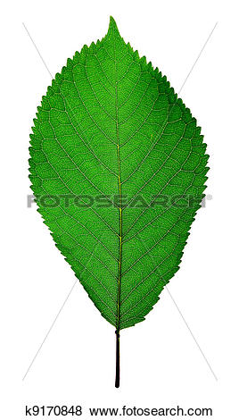Pictures of cherry leaf k9170848.