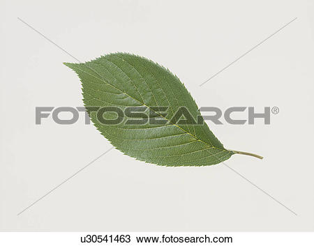 Stock Photo of The Leaf Of A Cherry Tree u30541463.