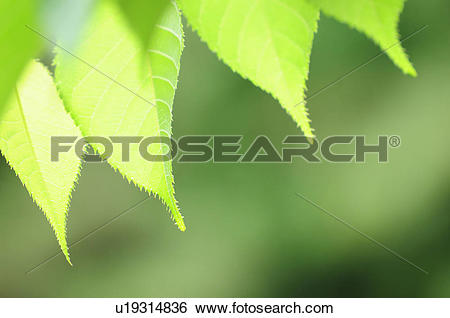 Stock Images of Cherry Tree Leaf u19314836.