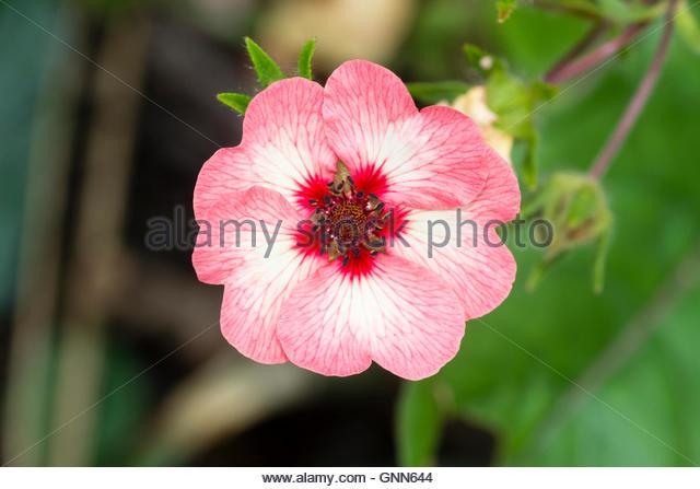 Potentilla Cinquefoil Flower White Stock Photos & Potentilla.