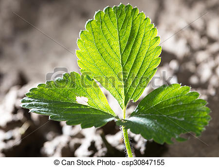 Stock Images of strawberry leaves in the ground csp30847155.