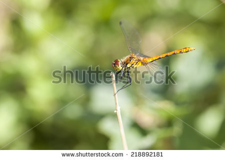 "sympetrum Depressiusculum"" Stock Photos, Royalty."