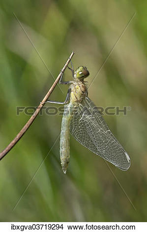 "Stock Photo of ""Newly hatched Spotted Darter (Sympetrum."