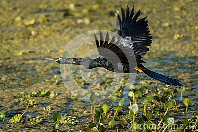 Anhinga In The Swamp Stock Photo.