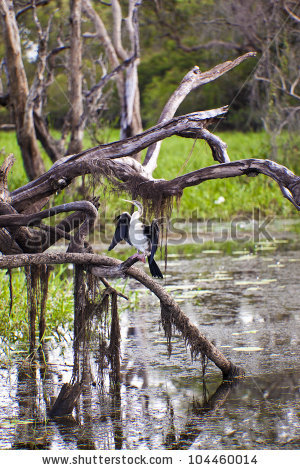 Australian Darter Stock Photos, Images, & Pictures.