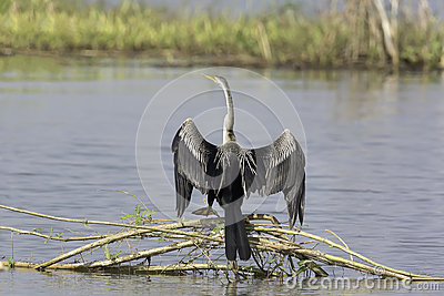 Oriental Darter (snakebird) In Beautiful Pose Stock Photo.