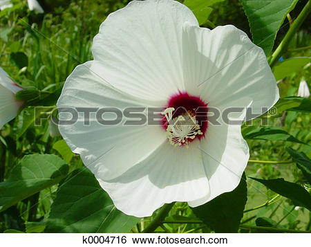 Stock Images of Hardy Hibiscus k0004716.