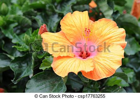 Stock Images of Swamp Rose Mallow (Hibiscus palsutris) in garden.