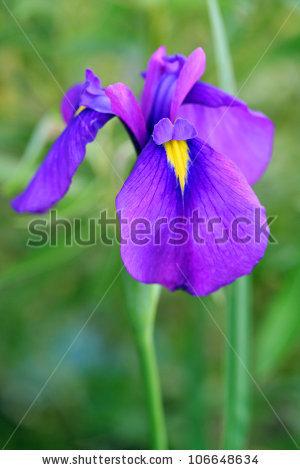 """swamp Iris"""" Stock Photos, Royalty."""