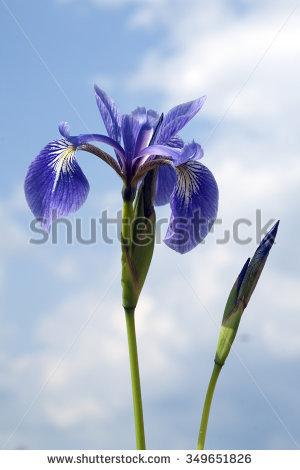Swamp Iris Stock Photos, Royalty.