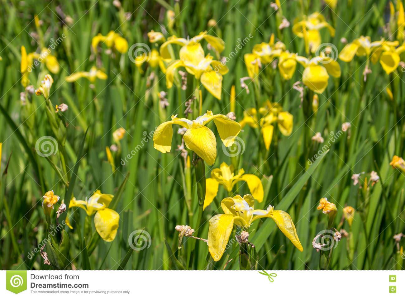 Yellow Iris In Nature, Swamp Flower. Stock Photo.