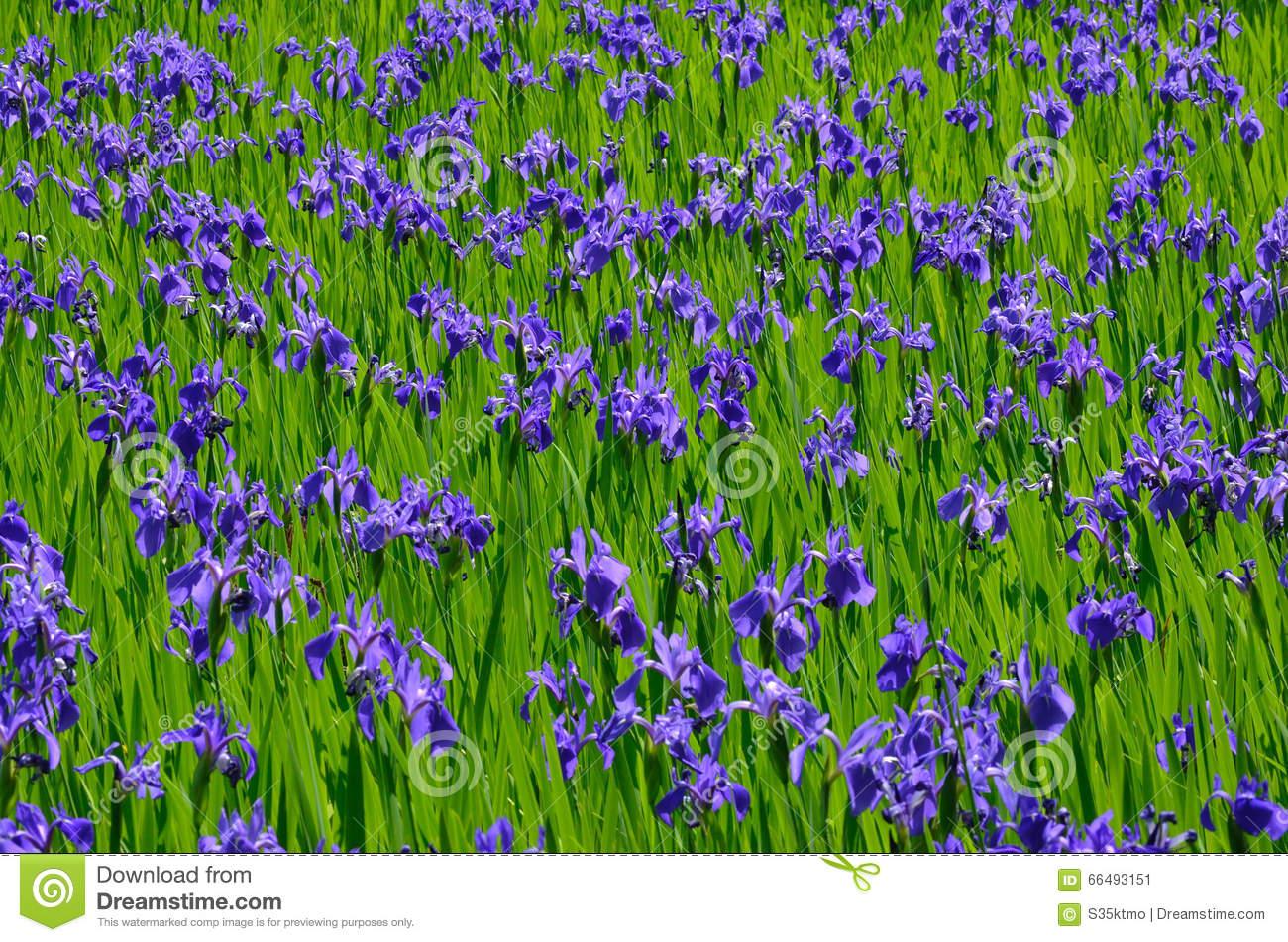 Blooming Iris Flower In Swamp, Kyoto Japan Stock Photo.