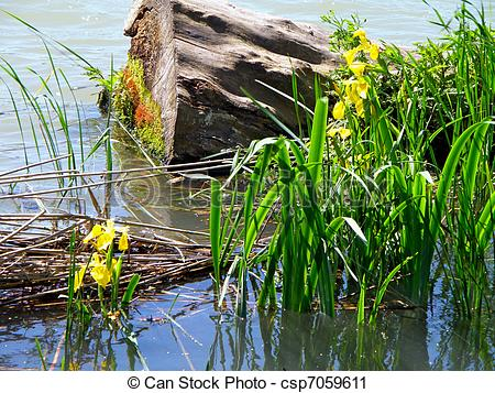 Stock Photography of swamp landscape with yellow iris flowers.