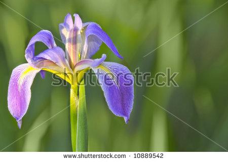 Blue Flag Iris Stock Photos, Royalty.