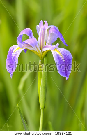 Wild Iris Stock Images, Royalty.