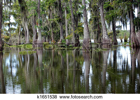 Pictures of Beautiful spanish moss trees in swamp k1651538.