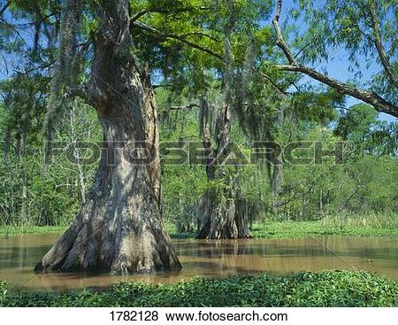 Pictures of Bald cypress in southern swamp, Louisiana, USA 1782128.