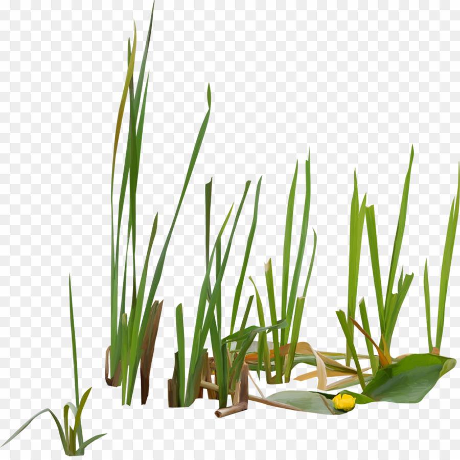 Swamp Plant PNG Swamp Scirpus Clipart download.