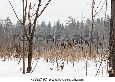 Stock Illustration of frozen swamp, with with reeds and sedges.