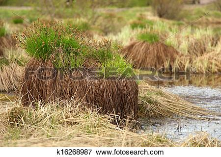 Picture of Sedge on swamp, Sakha Yakutia k16268987.