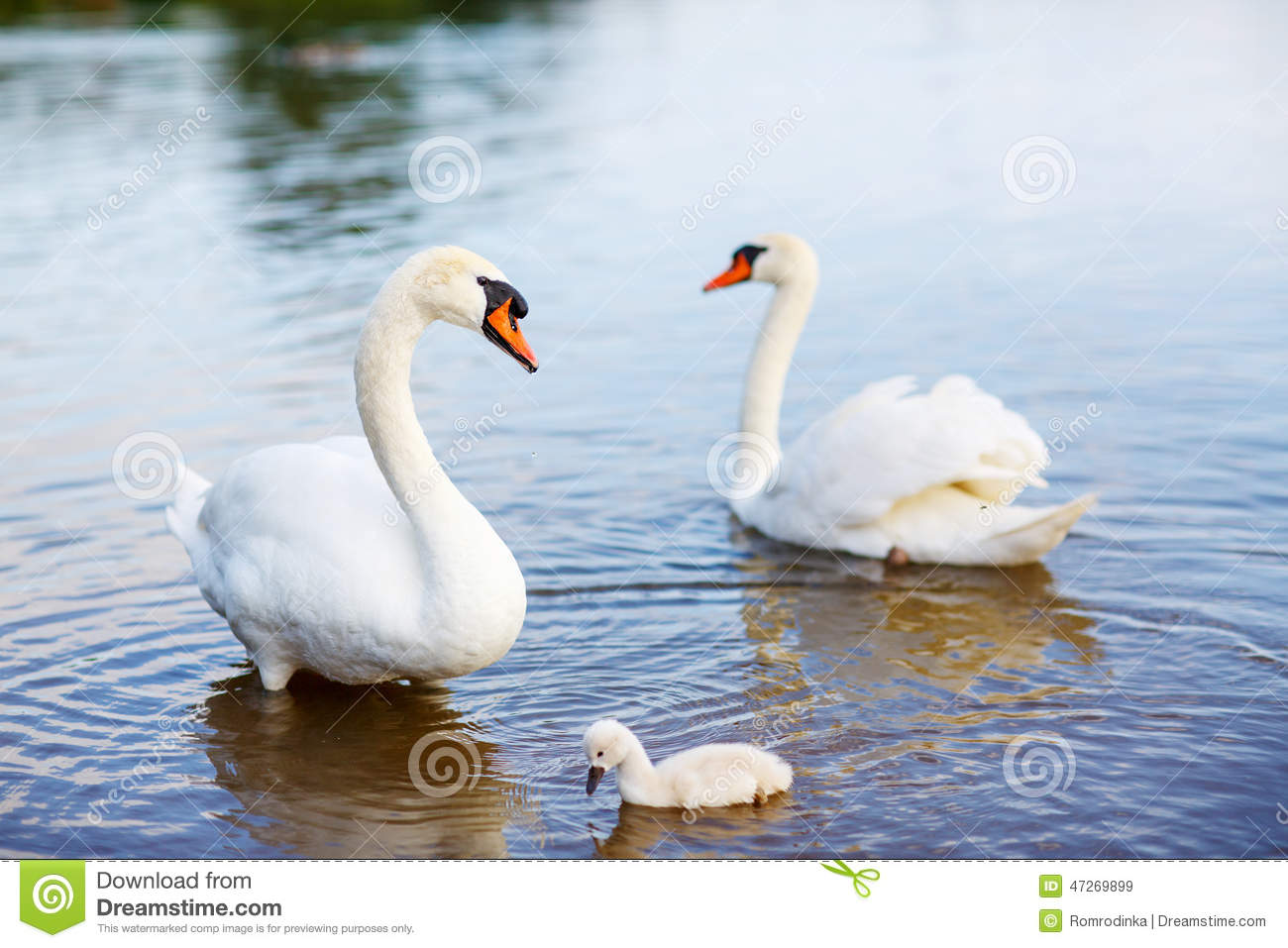Bird Family: Swans And Cygnet, On A Lake Stock Photo.
