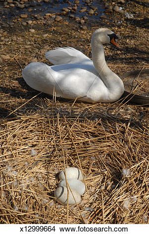 Stock Photo of Mute swan, nest and eggs. Abbotsbury, Dorset, UK.