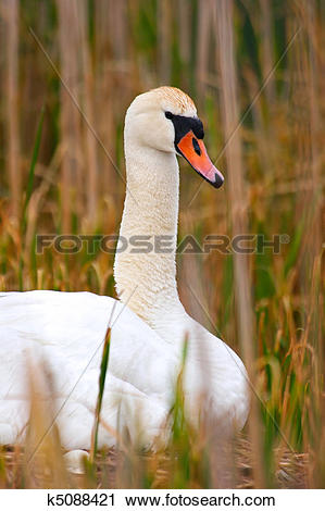 Stock Photography of Protrait Wild Mother Swan Sitting On Nest.