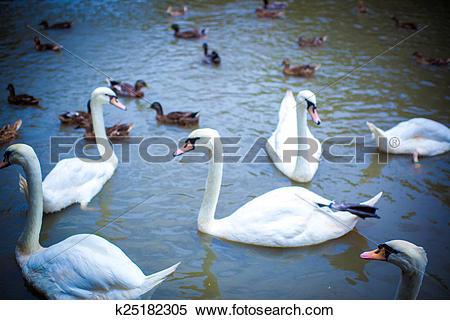 Stock Image of Swan family swimming in Pond k25182305.