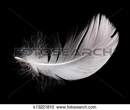 Stock Photography of swan feather k13221810.