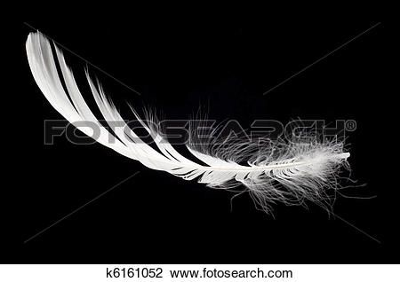Stock Photo of white swan feather isolated k6161052.