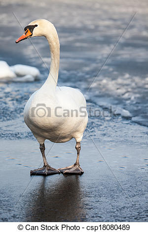 Pictures of Mute Swan walking in the natural winter environment.