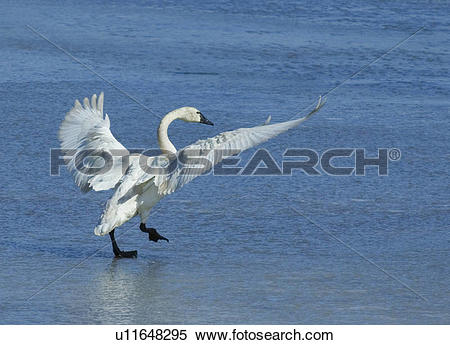 Stock Image of Tundra swan (Cygnus columbianus) walking on ice.