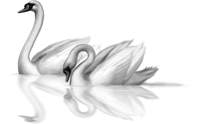 Two White Swans Clip.