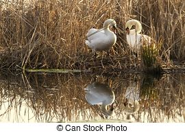 Picture of swans nest in the park of Ticino csp9951567.