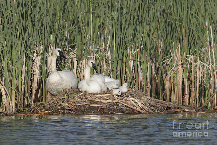 swan nest Gallery.