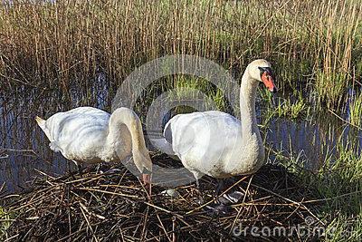 Swans Nest Royalty Free Stock Photography.