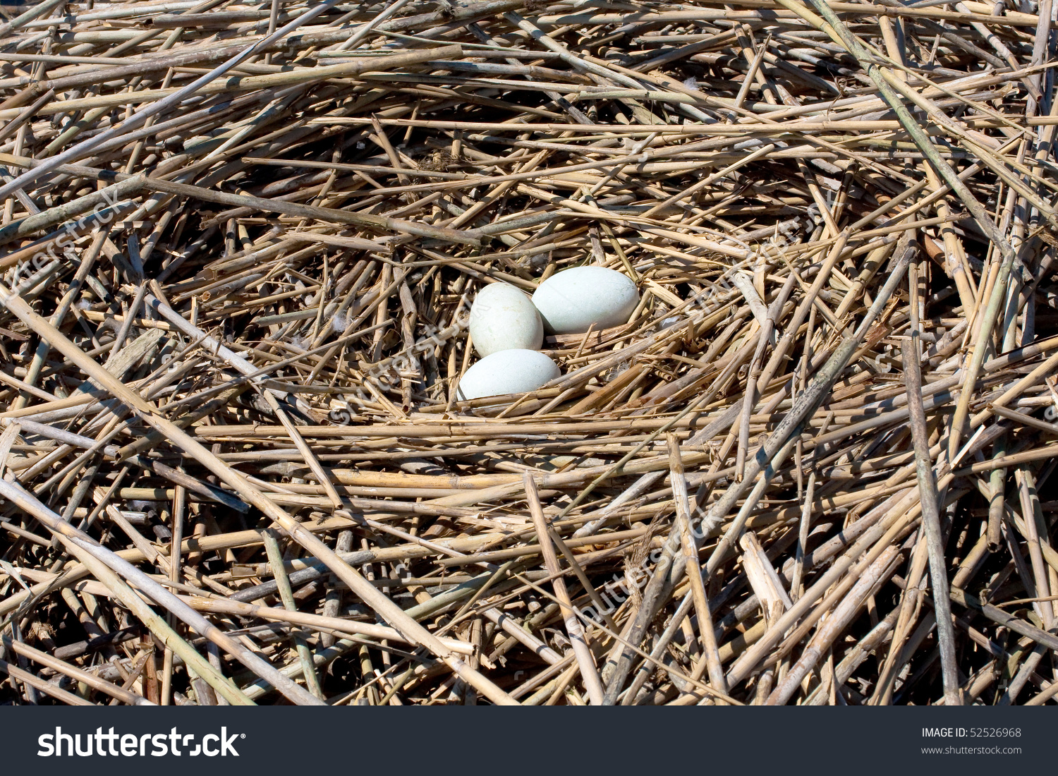 Mute Swan Nest Eggs Stock Photo 52526968.